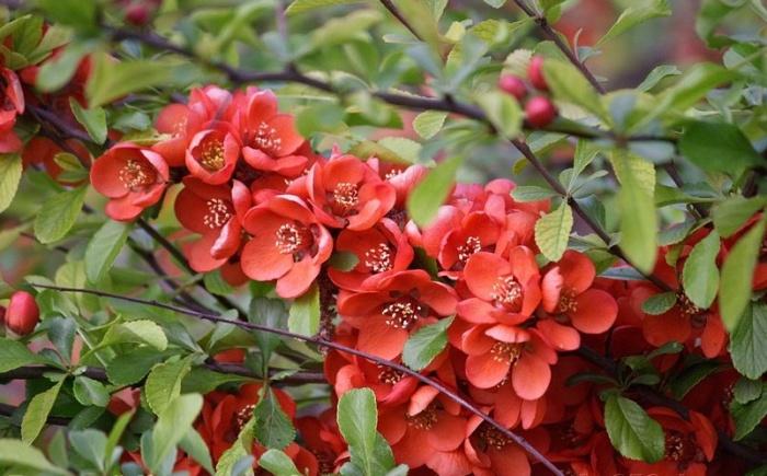 Айва японская цвет