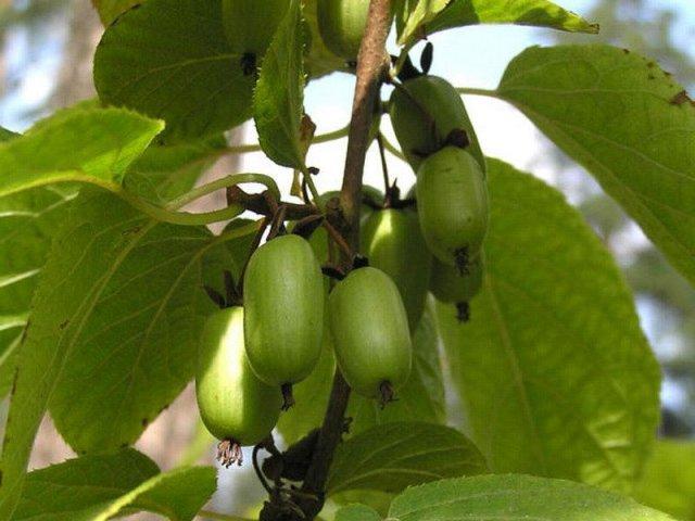 Актинидия-коломикта плоды