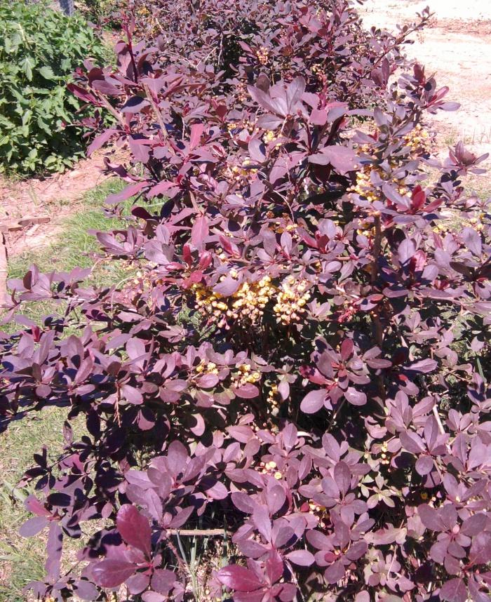 Барбарис Съедобный пурпуровый 1