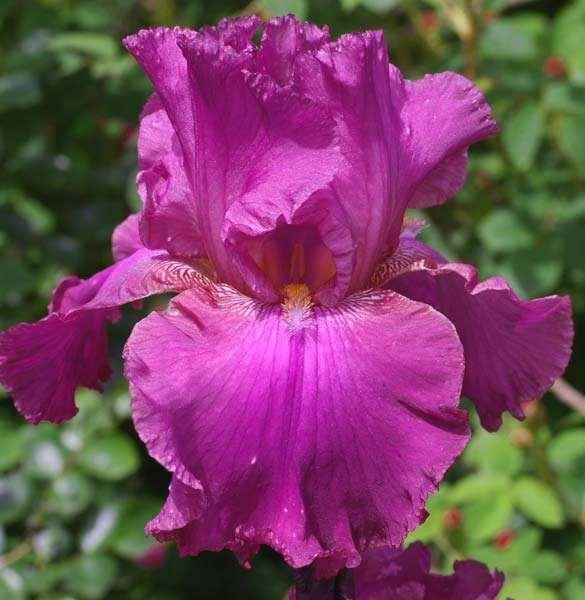 Виндзор роуз 5