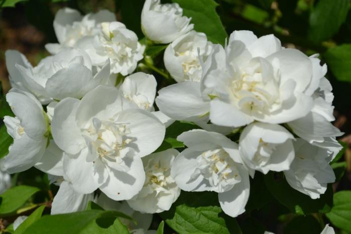 Жасмин махровый Белый букет