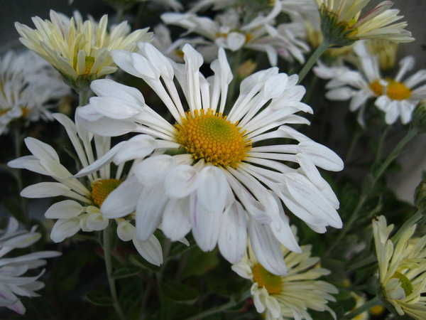 Хризантема Кружевница белая