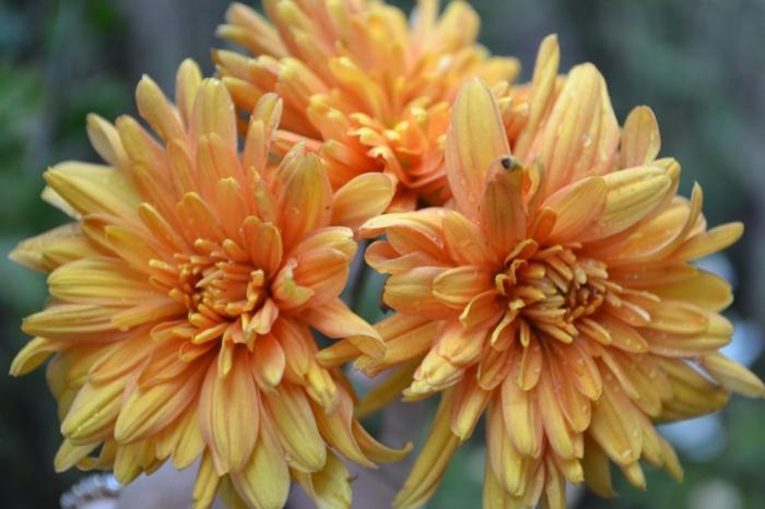 Хризантема Рыжик 1