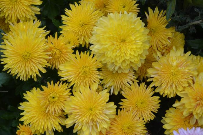 Хризантема золотая осень