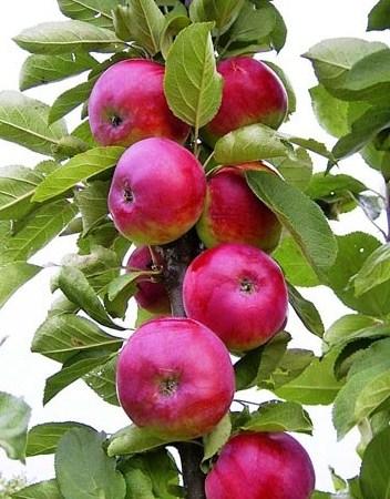 Яблоня Есения