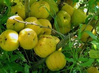 айва плоды1