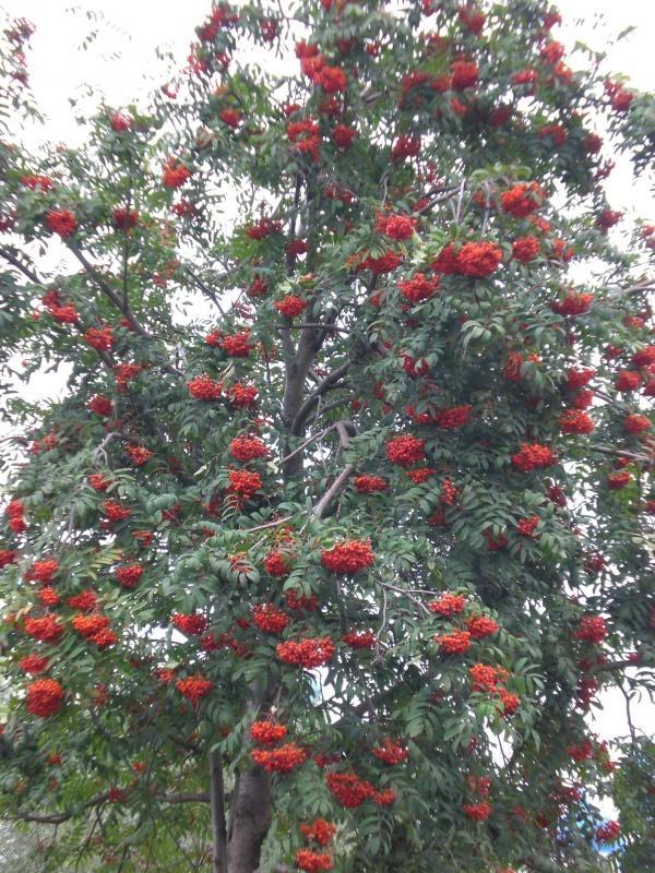 рябина дерево обычное хорошо всем знакомое