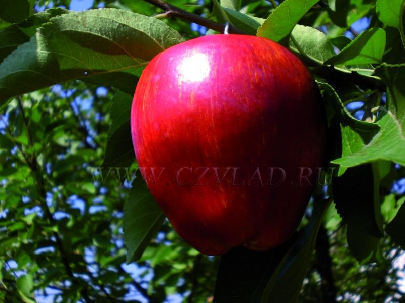 Яблоко подарок графскому 31